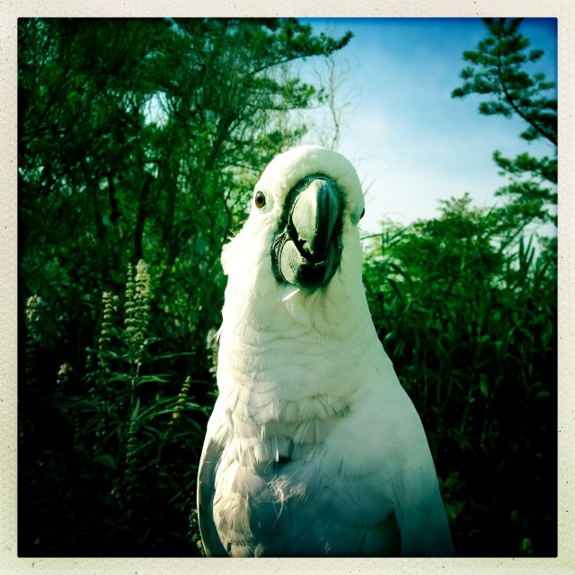 """Cockatoo Betty"" stock image"