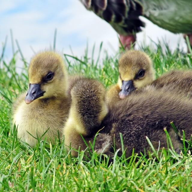 """Cute Goslings"" stock image"
