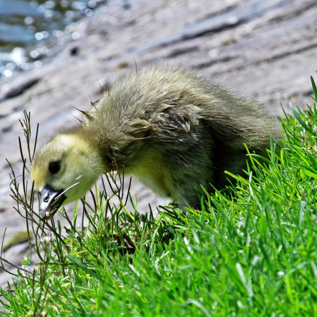 """Cute Gosling Eating Grass"" stock image"