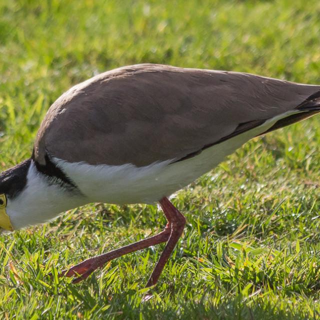 """Spur-winged Plover (Vanellus miles race novaehollandiae)"" stock image"
