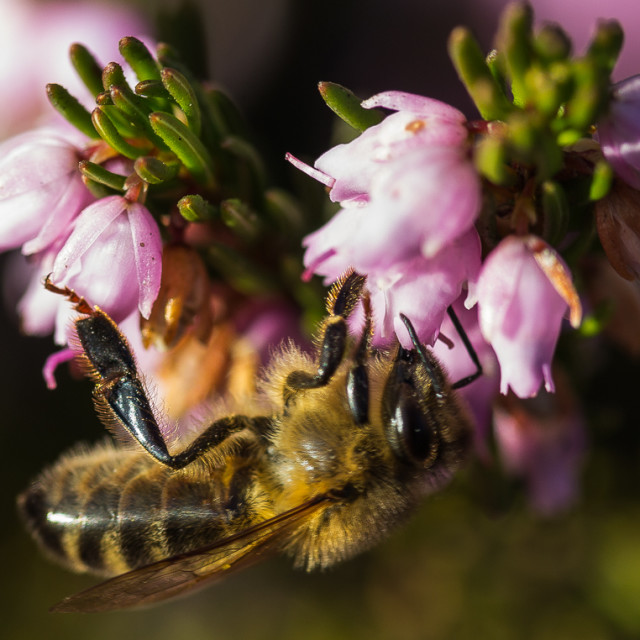 """Honey bee feeding"" stock image"