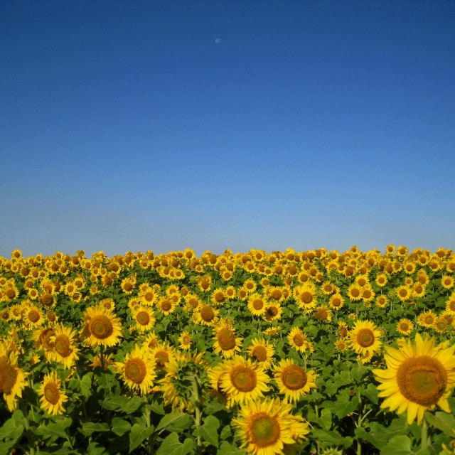 """Sunflowers on the Prairie"" stock image"