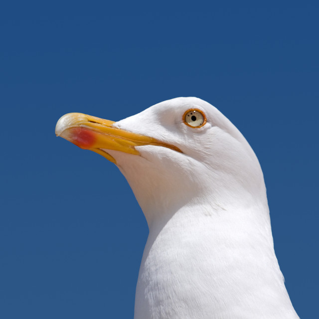 """""""Close up of a seagull looking out to sea."""" stock image"""