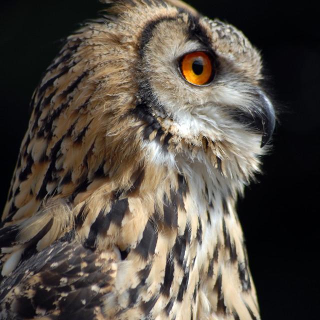 """Siberian Tukarmanian Owl"" stock image"