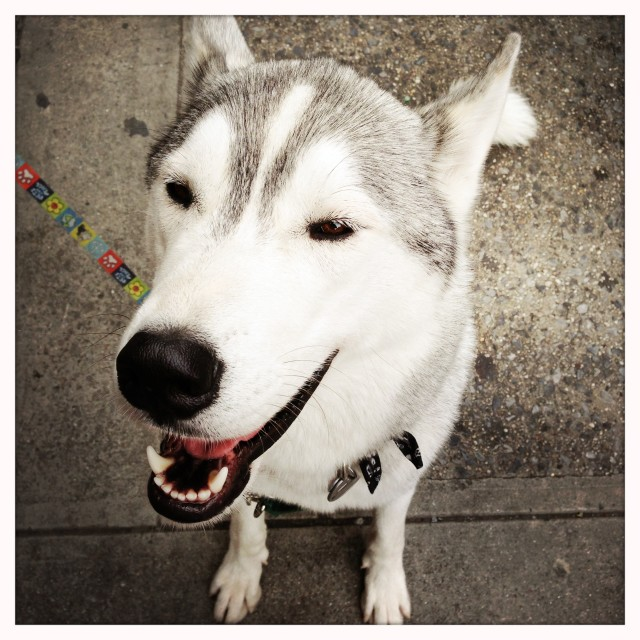 """Happy Husky Dog"" stock image"