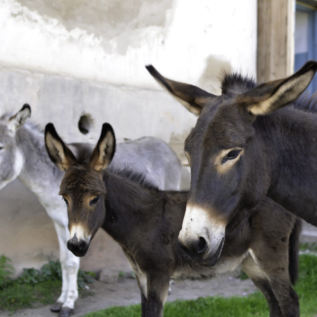 """Three Donkeys"" stock image"