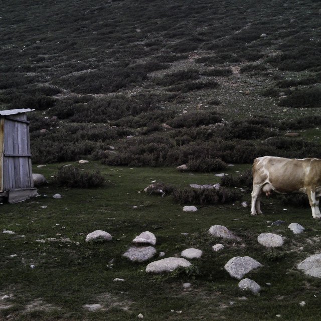 """Cow and Outhouse"" stock image"