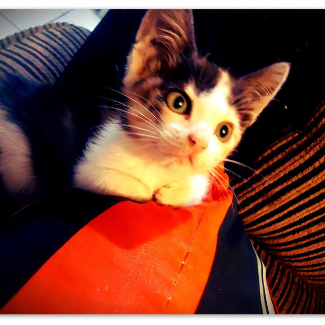 """Shenaya Cat"" stock image"