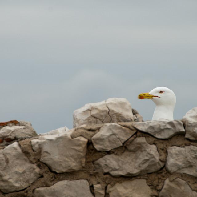 """""""Peek-a-Boo Gull"""" stock image"""