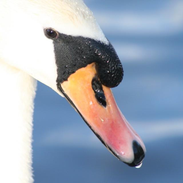 """Lone swan"" stock image"