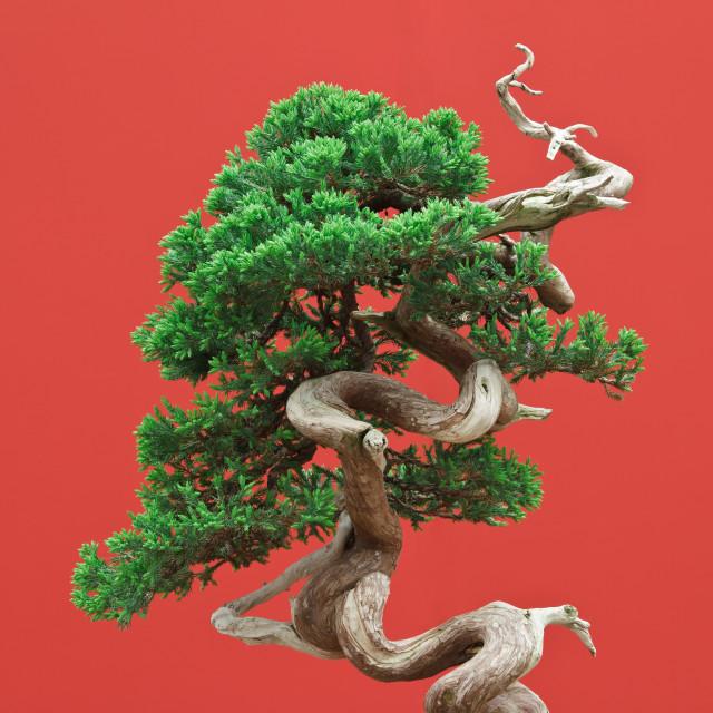 """""""juniper bonsai"""" stock image"""