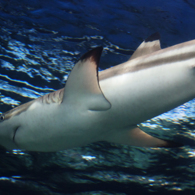 """reef shark gliding"" stock image"