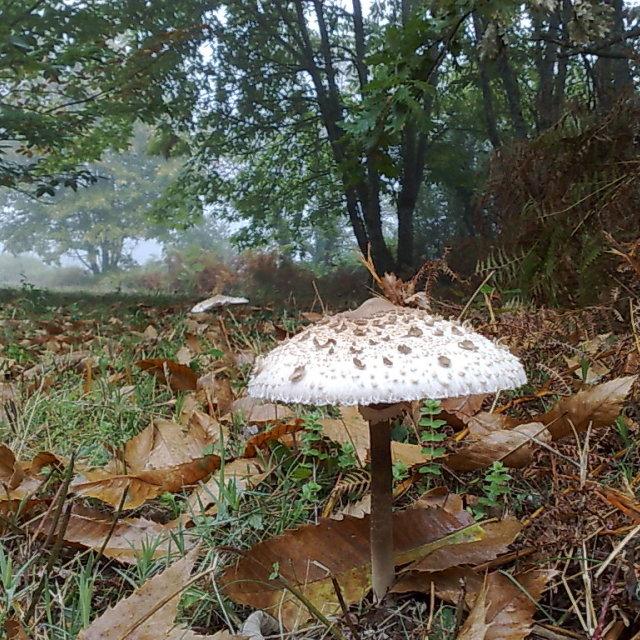"""Parasol mushroom"" stock image"