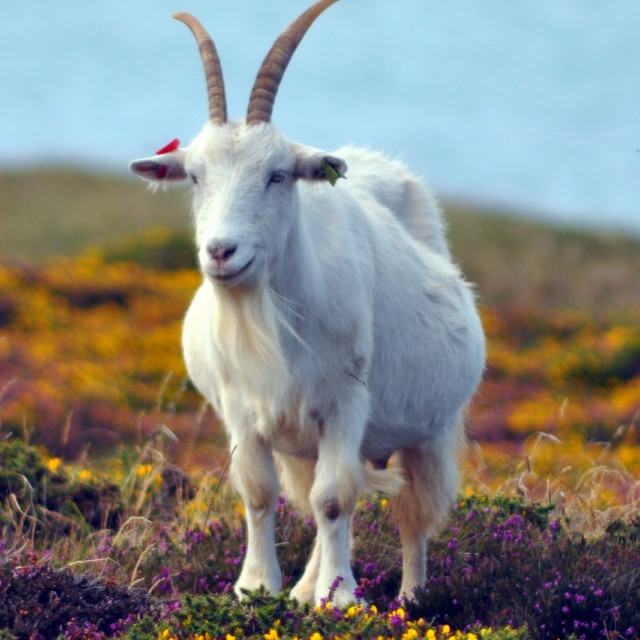 """Feral Goat In the Gorse"" stock image"