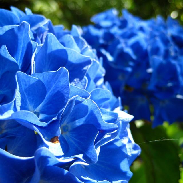 """Blue hydrangea's"" stock image"
