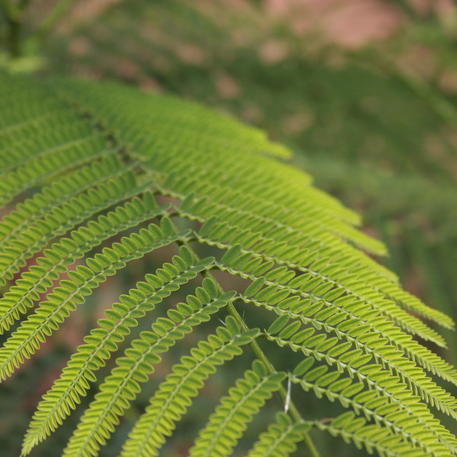 """delicate fern"" stock image"