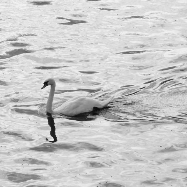 """""""Salford Swan"""" stock image"""