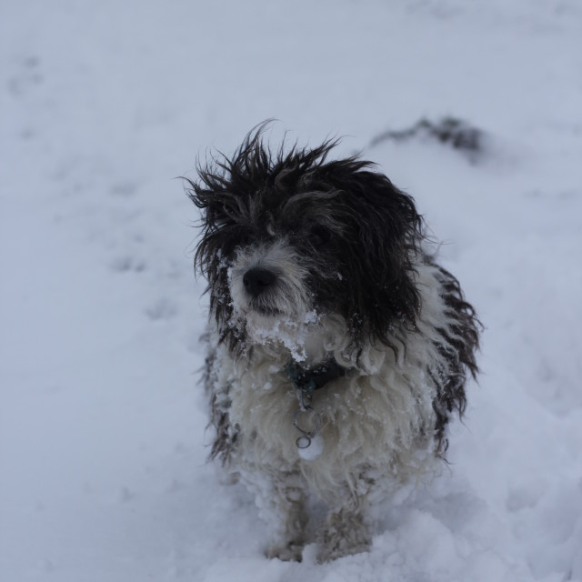 """""""Jack Russell Snow #2"""" stock image"""