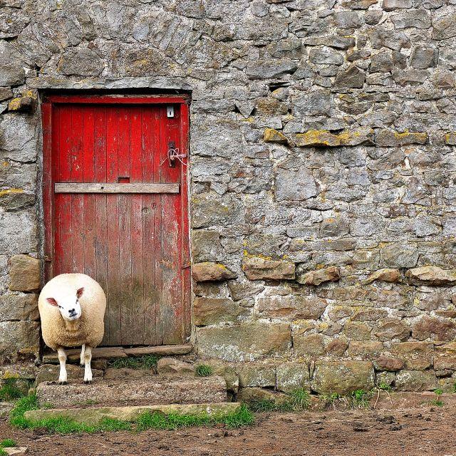 """Sheep scratch"" stock image"