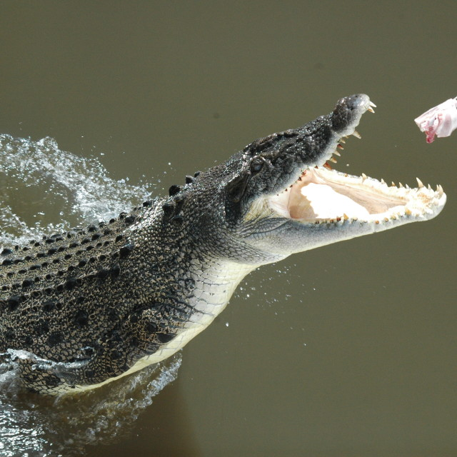 """Crocodile Jumping"" stock image"