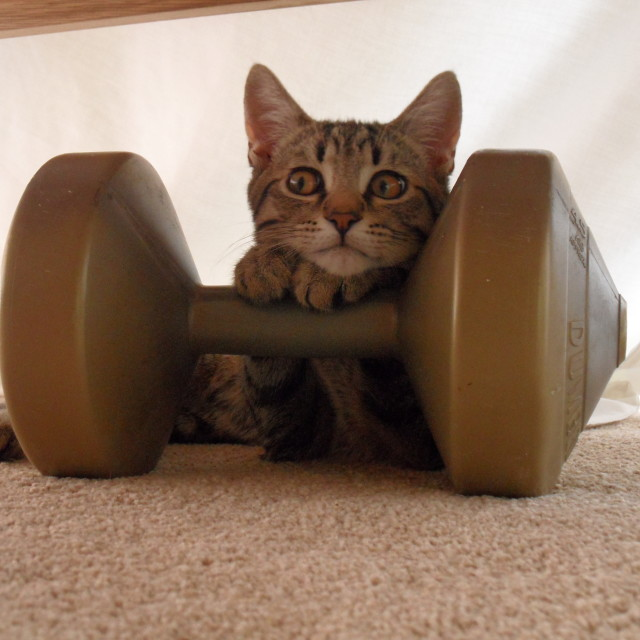 """Kitten does weights!"" stock image"