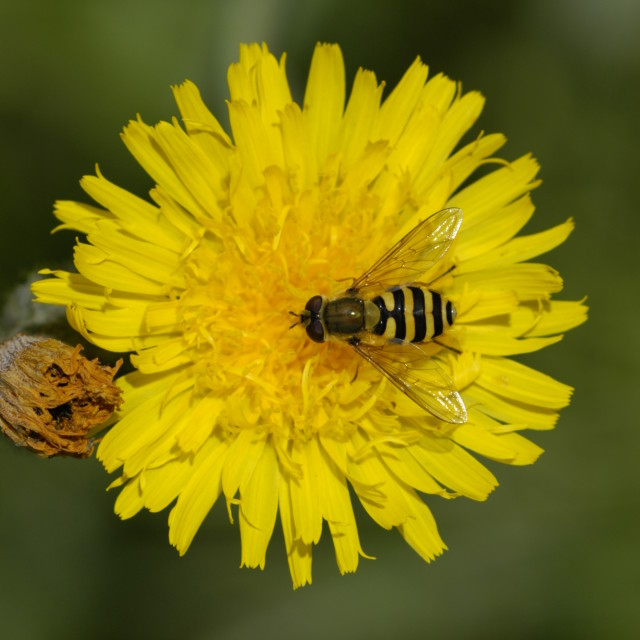"""Hoverfly on Dandelion"" stock image"