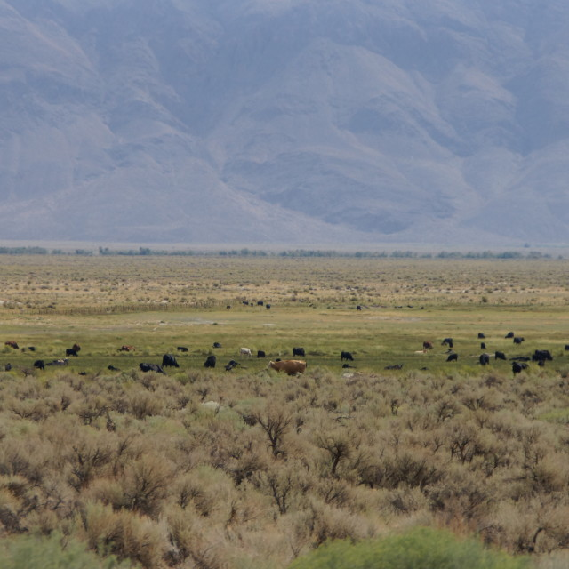 """""""cows in nature, California"""" stock image"""