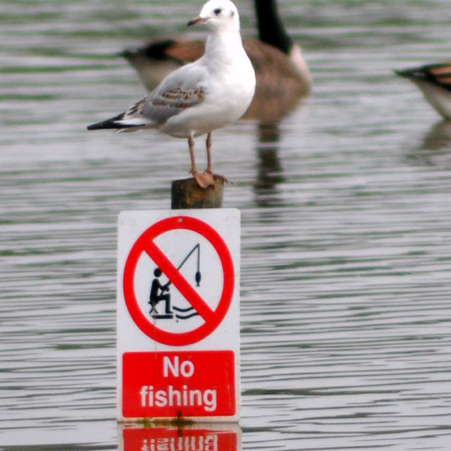 """No Fishing sign - Juvinile Black Headed Gull"" stock image"