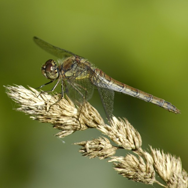 """Common Darter Dragonfly (female)"" stock image"