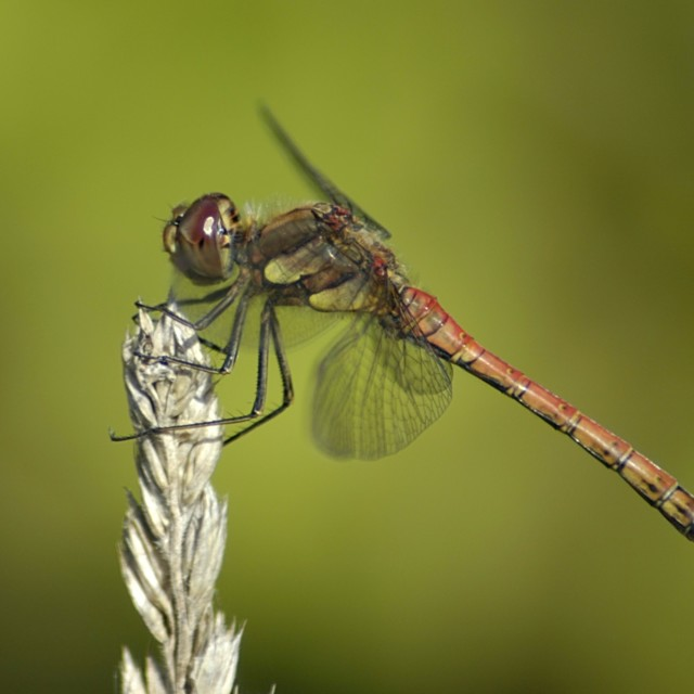 """Common Darter Dragonfly (male)"" stock image"