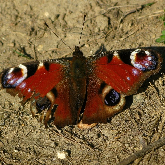 """""""Ragged Peacock Butterfly"""" stock image"""