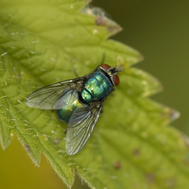 """Greenbottle Fly"" stock image"
