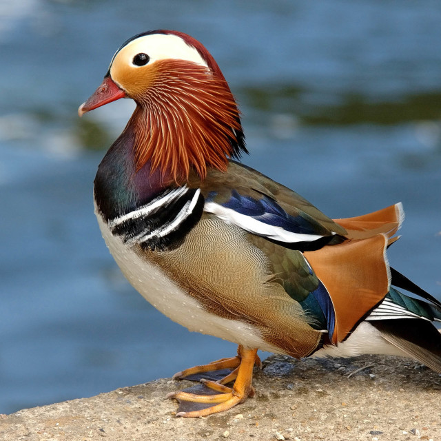 """Mandarin Duck"" stock image"