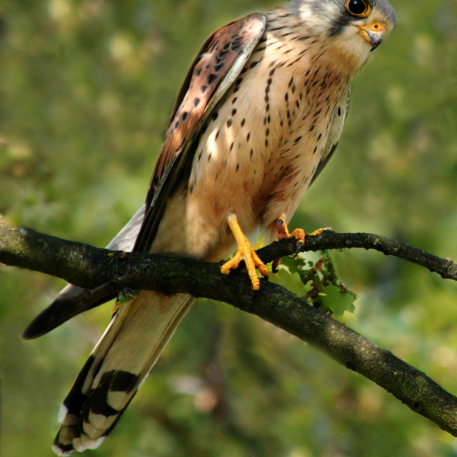 """Kestrel"" stock image"