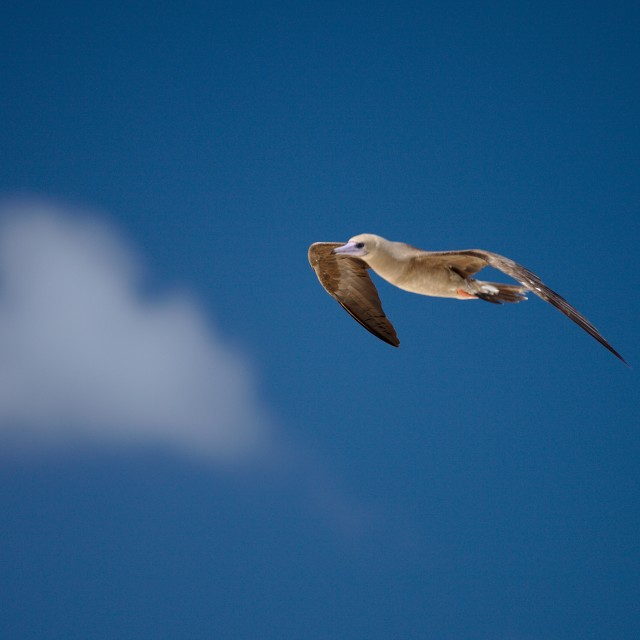 """bird flying in tahiti's blue sky"" stock image"