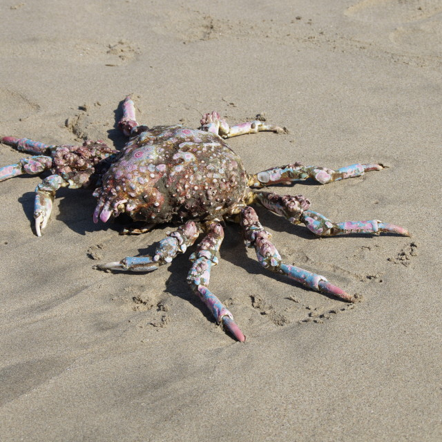 """Santa Monica huge crab on the beach"" stock image"
