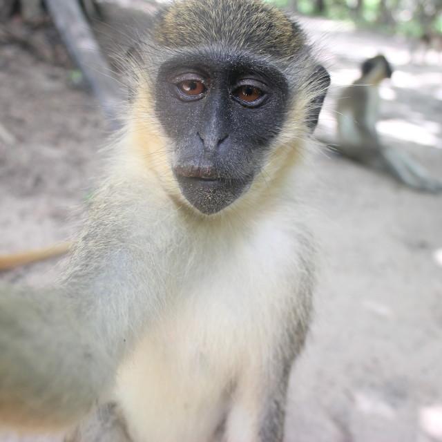 """Monkey Selfie"" stock image"