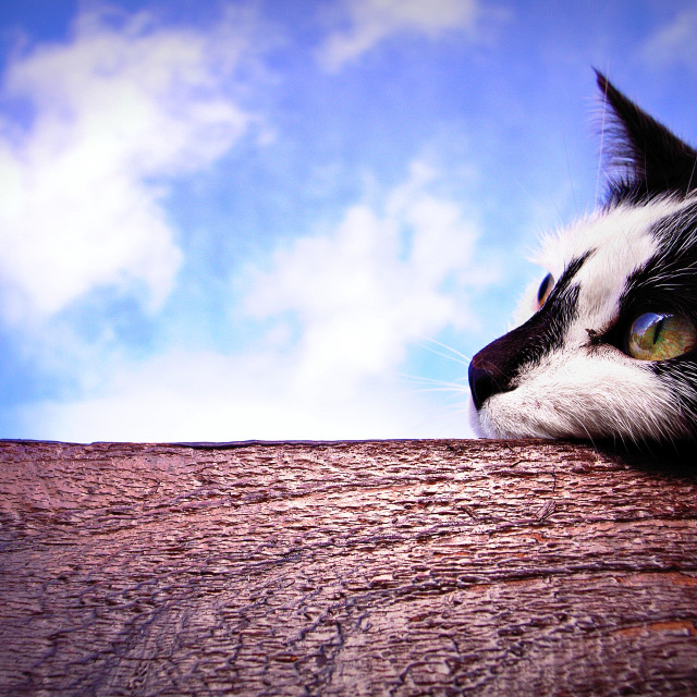 """Daydreaming cat"" stock image"