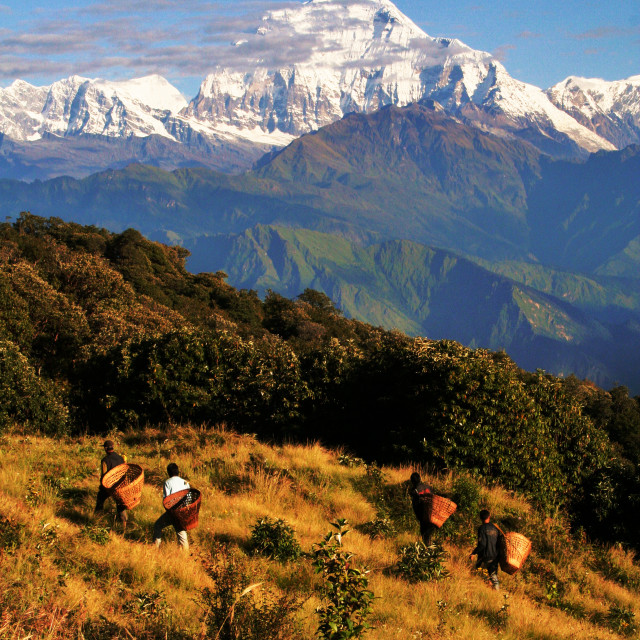 """""""Working in the Himalayas"""" stock image"""