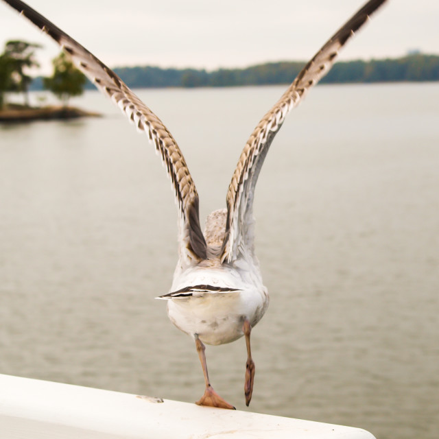 """""""Seagull at take-off"""" stock image"""