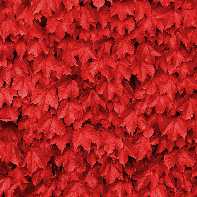 """Red leaves over a wall"" stock image"
