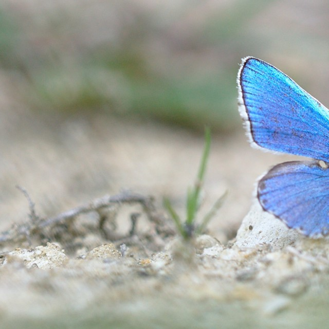 """Blue butterfly on the ground"" stock image"