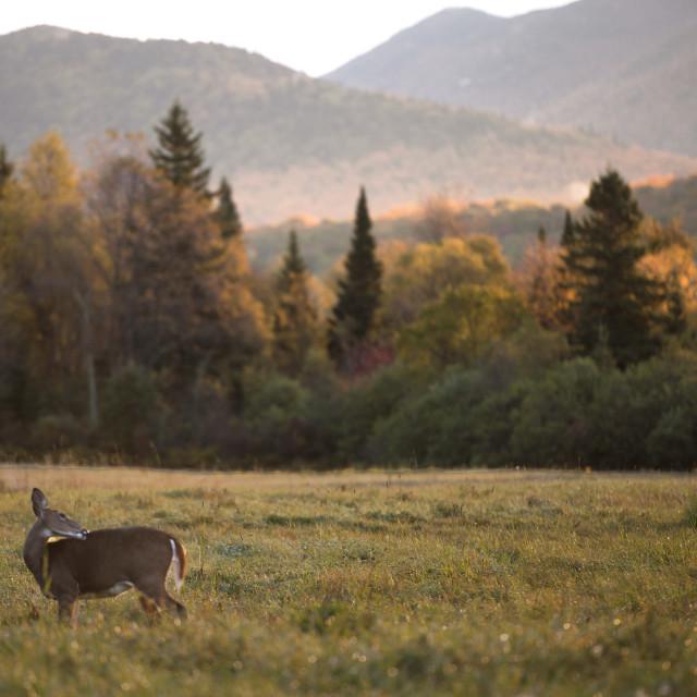 """""""Deer in the Meadow"""" stock image"""