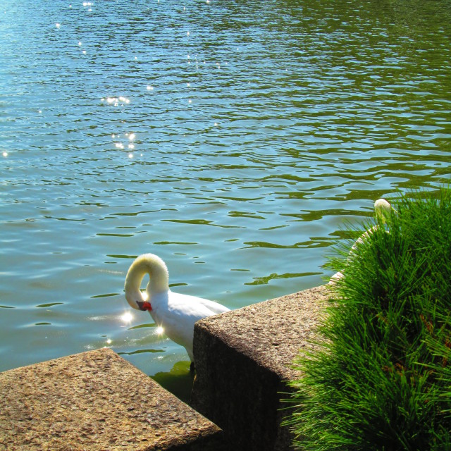 """Swan in the sun"" stock image"