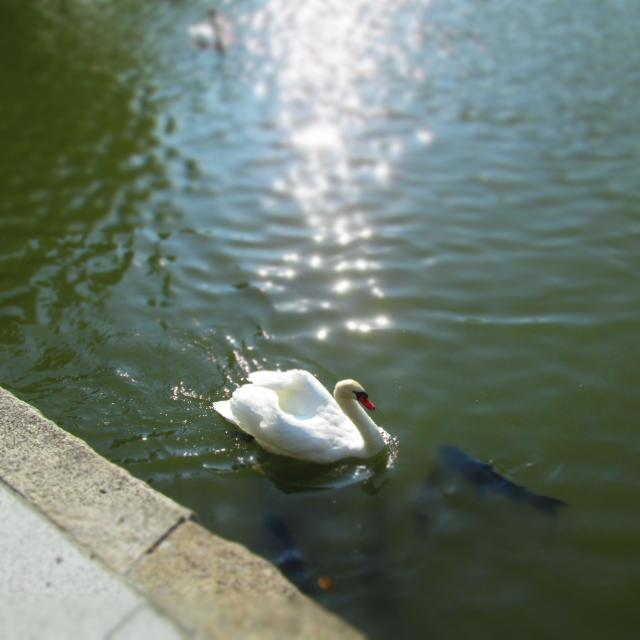 """Swan Sunshine"" stock image"