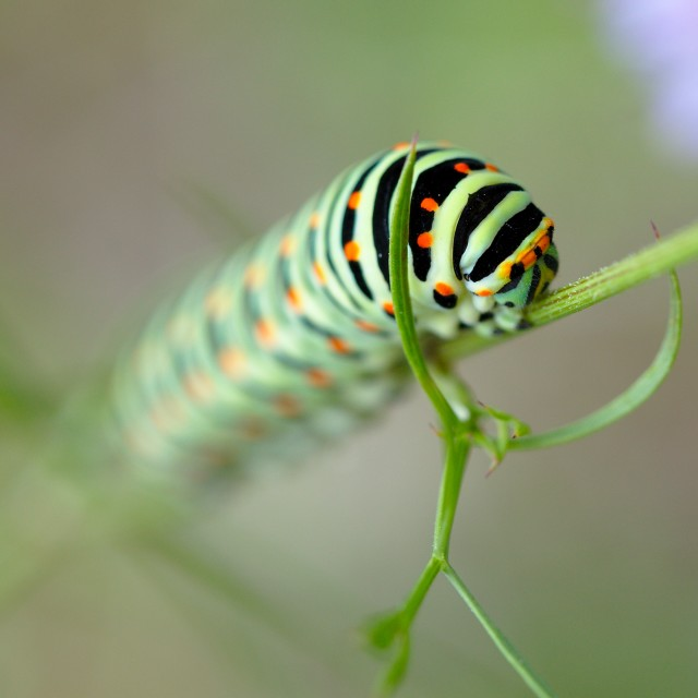 """Green caterpillar climbing a plant"" stock image"
