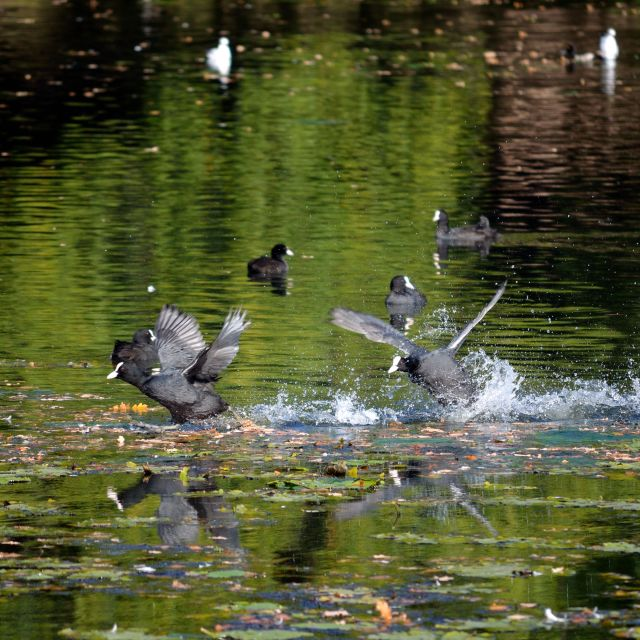 """""""Coot chase"""" stock image"""