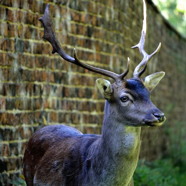 """Dunham Deer"" stock image"