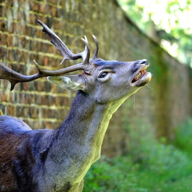 """""""Dunham Deer Tongue"""" stock image"""
