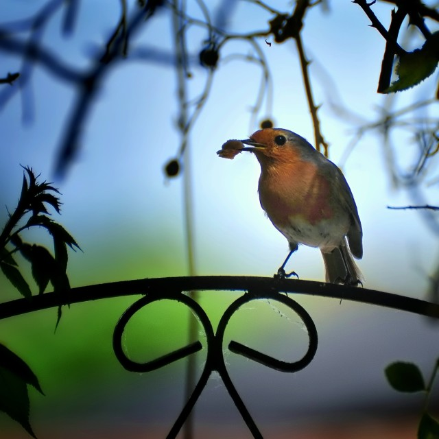 """Robin on the gate"" stock image"